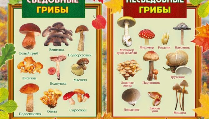 Съедобные – несъедобные грибы
