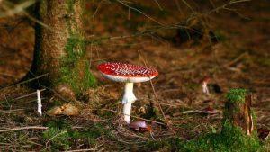 Мухомор червоний в лісі
