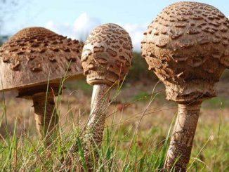 гриб парасолька