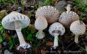 Капелюшок молодого гриба парасольки