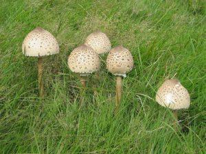 їстівний гриб парасолька