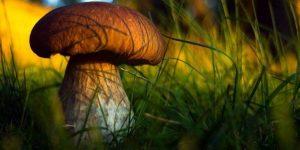 білий гриб боровик