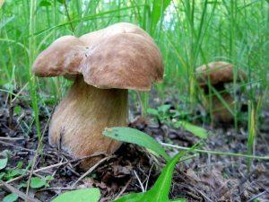 білий гриб дубовий