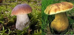 білий та жовтий гриб