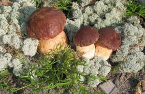 білий гриб сосновий
