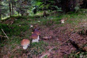білий гриб в лісі