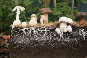 мітцелій грибів