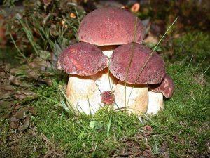 сідобний білий гриб