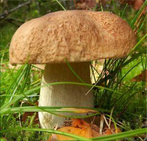 шляпка білого гриба