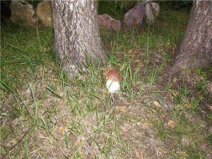 білий гриб в домашніх умовах