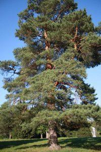 Дерево-сосна-2