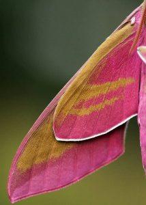 Крылья винного бражника