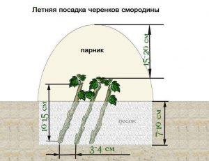 Размножение-смородины-зелеными-черенками