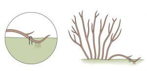 Размножение-смородины-отводками