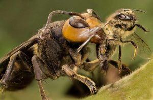 Шершень ест пчелу