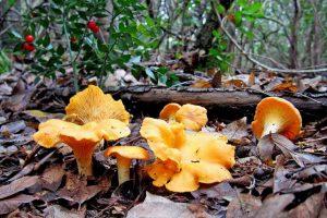 грибы лисички в лесу