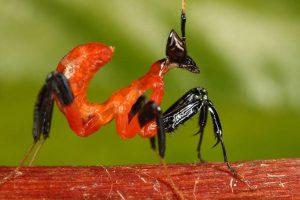 Нимфа-личинка-орхидейного-богомола