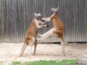 Большие-рыжие-кенгуру-дерутся