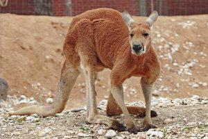 Большой-рыжий-кенгуру