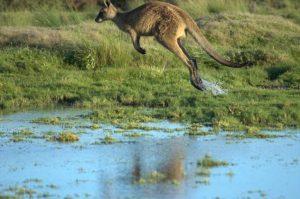 Гигантский-кенгуру-в-прыжке