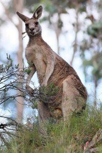 Гигантский-кенгуру-лесной-восточный-серый