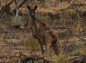 Западный-серый-кенгуру