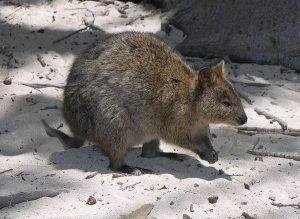 Квокка-короткохвостый-кенгуру