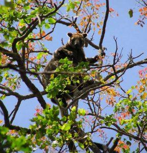 Кенгуру Беннетта на дереве