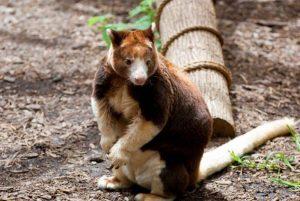 Кенгуру-Матчи-животное