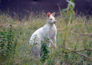 Рыже-серый-валлаби-альбинос