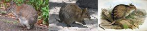 Самые-маленькие-кенгуру-в-мире