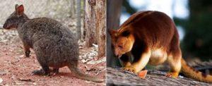 Тасманийский-филандер-и-кенгуру-Гудфеллоу