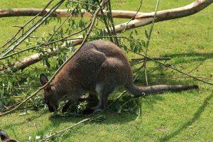 Чем-питаются-кенгуру-фото