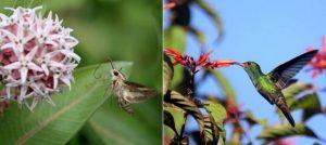 Бражник и колибри