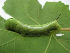 Гусеница-большого-винного-бражника