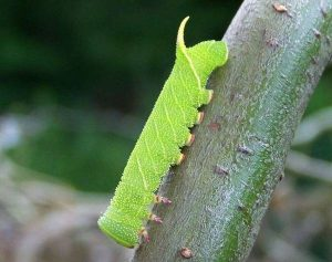 Гусеница-бражника-тополевого
